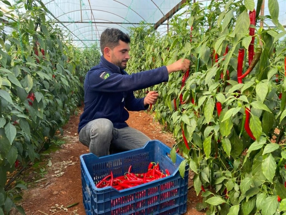 Aşırı talebe yetişemeyen isotun açığını Şili biberi kapatıyor #3